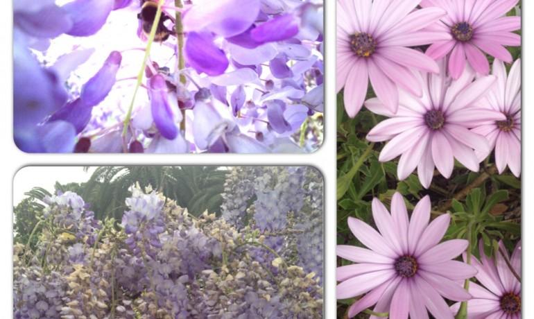 Mor salkımlar , çiçekler