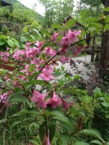 pembe boru çiçekleri