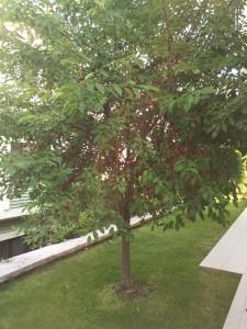 vişne-ağacı-joyofearth